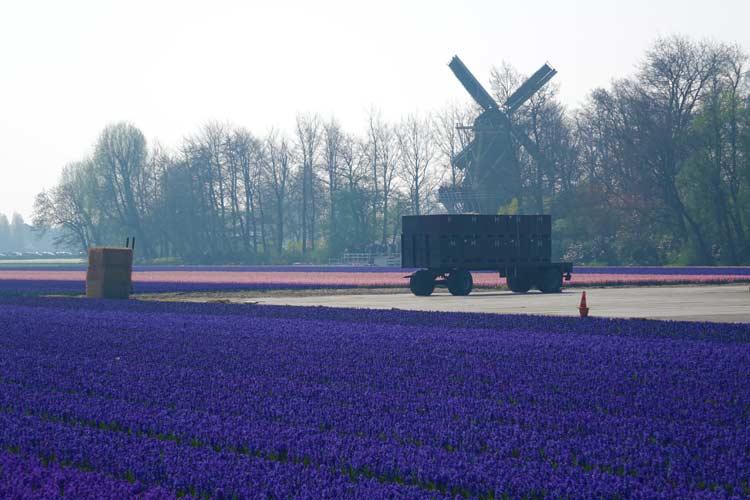 Tulip Season Holland –  7 Million Flower Bulbs Bloom In Spring